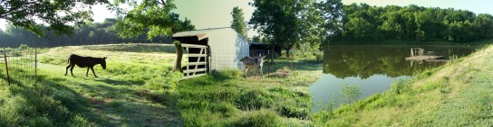 My Dad's pond and donkeys in Oklahoma